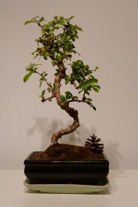 bonsai boeken gekronkeld opgaand Punica Granatum